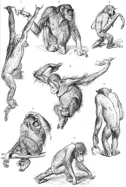 1, 2, 5 och 6 chimpanshona, 3 gibbon, 4 och 7 orangutang