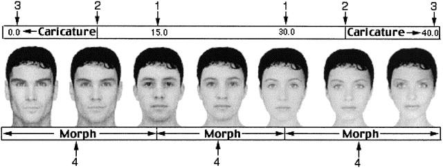 Skala för manliga respektive kvinnliga ansiktsdrag