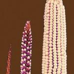 GMO – en komplex fråga
