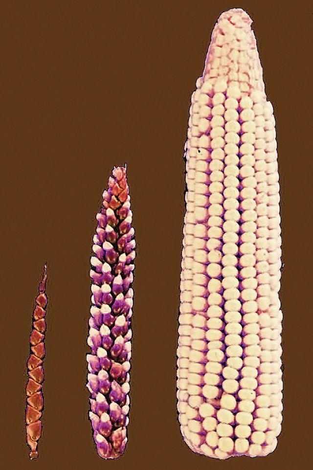 Hur dagens majs uppkommit genom selektivt avel. Källa: Wikipedia